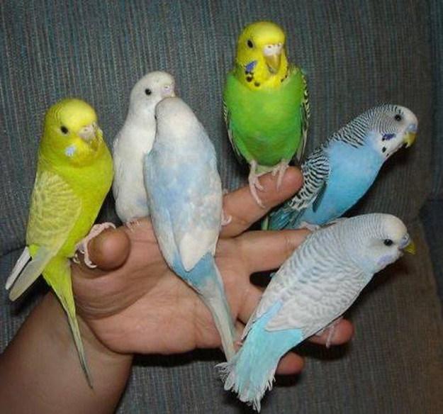 Содержание волнистого попугая в домашних условиях