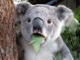Проблема сокращения количества диких коал в Австралии